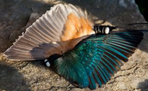 Alcedo atthis wings by SilenceOfNature
