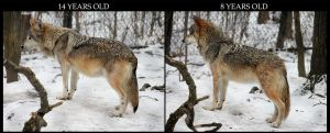 Mexican Wolf Age Comparison by HOTNStock
