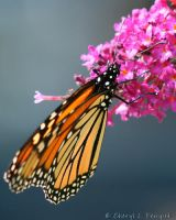 Monarch 6 by Cheryl-P