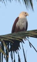 Brahminy Kite 1 by RixResources
