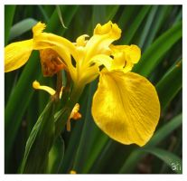 Flower Stock ( Yellow Iris) by GeminiArtNStock