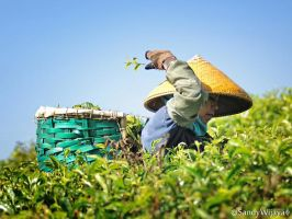 Tea Picker by thesaintdevil