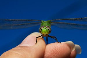 The Green Dragonfly 12 by lifeinedit