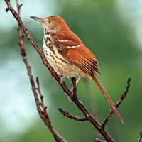 Brown Thrasher by clippercarrillo