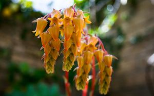 Golden Succulent Blossoms by majamaki