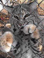 New Camera Bobcat Pic by DrowElfMorwen