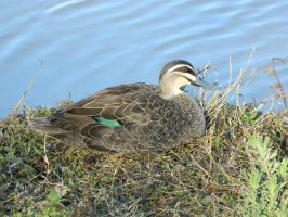 Duck 002 - HB593200 by hb593200