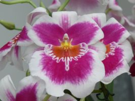 Orchid18 by Otoff