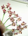 1-6 Miniature Orchids by Snowfern