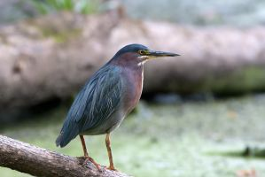 Green Heron by AmirNasher