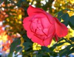Last Rose of Summer by sweetmarly