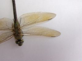 Dragonfly 13 by Skalski-Stock