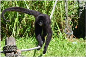 Real Spider Monkey 03 by Skip1967