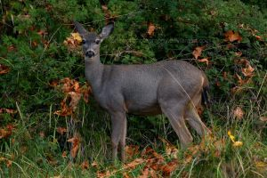 Model Muley by LoneWolfPhotography