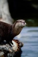 Asian Otter by Art-Photo
