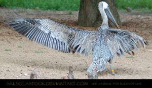 Pelican Wingstretch 5 by SalsolaStock