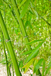 bamboo 2 by BlackBy