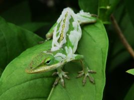 Shedding Anole. by duggiehoo