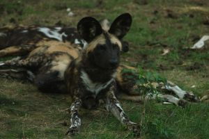 African Wild Dog 2 by Canisography