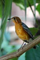 Orange Headed Ground Thrush by s-kmp