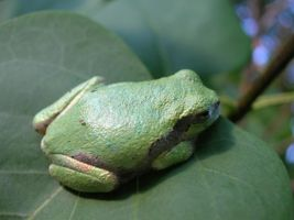 Tree Frog 1 by EllaRow