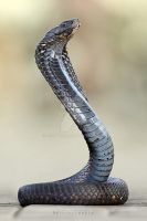 cobra by serhat3hat