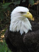 Bald Eagle 02 by animalphotos