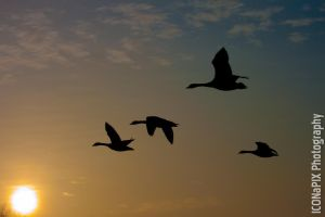 Canada Geese by ICONaPIX