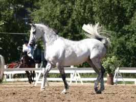 removed tack warmblood II by suuslovertje