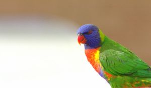 Rainbow lorikeets 3 by Tamamantix