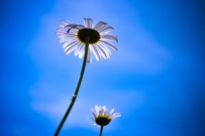 Daisies and Blue Sky by LiliaLaurent