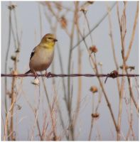Goldfinch 1 by SuicideBySafetyPin