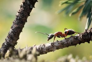 Forest Ant by MissFlykt