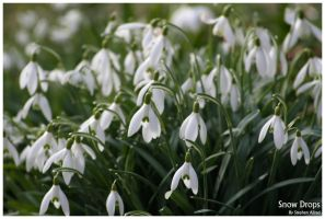Snow Drops by stephenallred