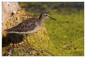 Wood Sandpiper Foraging by MrStickman
