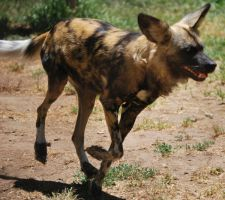 African Wild Dog Stock 16 by HymnsStock