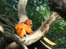 Golden lion tamarin by Spagheth