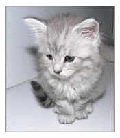 Maine Coon kitten IX by LanimilbuSx
