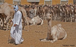 Camels for sell by Nile-Paparazzi