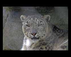 Snow Leopard New 2 by BethHallewell