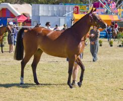 STOCK Canungra Show 2013-41 by fillyrox