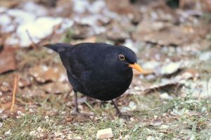 Amsel male by KugelKatzenFisch