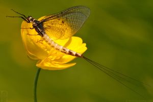 Mayfly on a Buttercup by runique