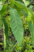 Chestnut Leaves by ixbalam