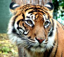 Tiger by wounded-bull