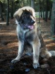 Leonberger by meandmymoments