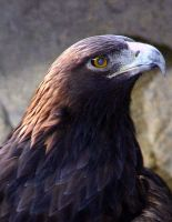 The Golden Eagle by lynjupiter