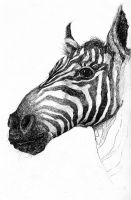 La Specola Sketches - Zebra by MonicaMcClain