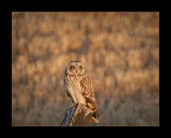 Evening Owl by pictureguy