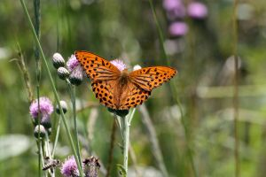 Leopard Butterfly by stinebamse